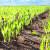 Mlinari se oštro protive GMO pšenici - porasli bi troškovi uvoza i cijene?