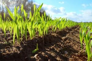 Klimatske promjene prijete pšenici, do 60% svjetskih usjeva moglo bi biti pogođeno sušom?