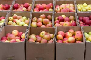 Do kraja nedelje bez padavina - aktuelna trulež plodova jabuke