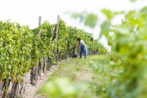 Kako izbeći greške u zalamanju vinove loze?