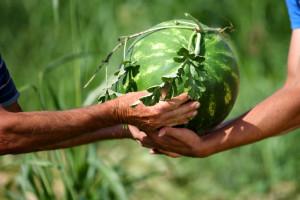 Kazna od 350 tisuća kuna zbog nepoštenih trgovačkih praksi prema dobavljačima lubenica!