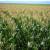 Kineska vlada potiče svoje poljoprivrednike na veću sjetvu žitarica