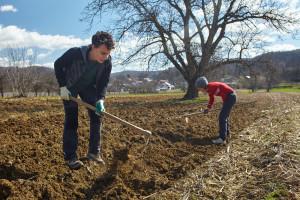 Sadnja krompira traje do 20. aprila, u zavisnosti od sorte