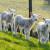 Veganski aktivista u pohodu spasavanja ovaca sa menija koledža