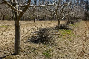 Higijena voćnjaka: Značaj zimskih aktivnosti u voćnjacima i okućnicama
