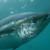 Prijedlog pravilnika o ribolovu plavoperajne tune