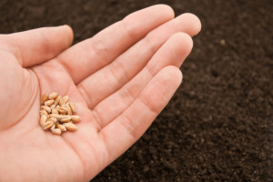 Kasna setva pšenice - da li priroda s razlogom određuje drugi termin?