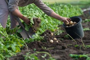 Obavite vađenje, skladištenje i čuvanje krompira sa što manje gubitaka