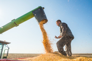 IGC prognoza: Svet očekuje povećanje proizvodnje pšenice i kukuruza