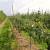 Kako pravilnom ICL SF gnojidbom postići visoke rezultate u uzgoju jezgričavog voća