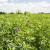 Vrijeme je za jesensku sjetvu lucerne - kako ostvariti visoke prinose?