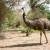 Australijski emu u Zrenjaninu - velika vrednost jaja, perja i kože
