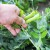 Gelom u kapsulama riješite se nametnika i gljivica u povrću, voću i cvijeću