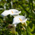 Kala - prefinjeni cvetovi za zatvoreni i otvoreni prostor