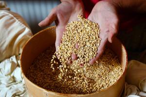 Otkupna cijena pšenice biće stabilna, a ratarima isplaćeno 300 KM/ha do početka žetve