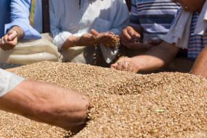 Izvozne cene ruske pšenice ostale nepromenjene