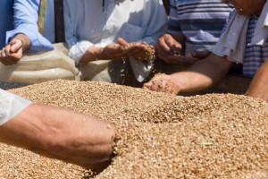 Da li je domaća pšenica zaista lošeg kvaliteta?