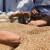 Smanjena setva prolećnih žitarica u Ukrajini, a izvoz ruske pšenice opada
