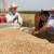Pojačana potražnja diže cenu pšenice