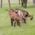 IgorPlanojević uzgaja 85 koza: Uspjeh je u diverzifikaciji proizvodnje