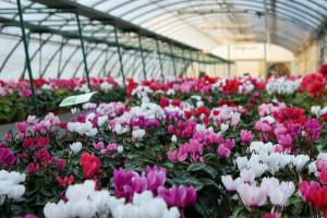 Porodica Bugarski - ponosni vlasnici plastenika sa 15.000 saksija cveća