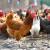 Inovacije u živinarstvu: Kokošinjac može da bude i fenjer?!