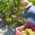 Turska je izvezla grožđe u vrijednosti 120 milijuna USD u 56 zemalja