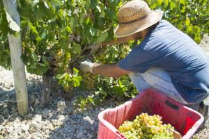 Turska je izvezla grožđe u vrijednosti 120 miliona USD u 56 zemalja
