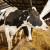 U travnju proizvedeno više mlijeka za piće, vrhnja i sira nego godinu ranije