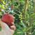 Autohtone sorte jabuka otporne i pogodne za preradu - koju gajiti?