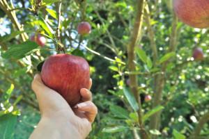 Koje sorte jabuka mogu da se gaje bez prskanja?