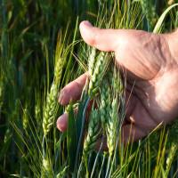 Systiva®: Jedini fungicid na svijetu kojim tretiramo sjeme, a štitimo list!