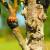 Prednosti divlje trešnje kao podloge za kalemljenje