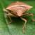 Ugrožene svetske zalihe lešnika - napadaju ih smrdljivi martini