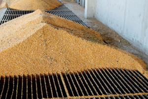 Кukuruz i soja odlični bioenergetski usevi