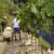 Podsticaji za sertifikaciju sadnica i klonsku selekciju voćaka, vinove loze i hmelja