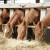 Značaj ovsa u ishrani domaćih životinja