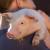 Koronavirus - kućni ljubimci i domaće životinje nisu izvor zaraze