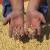 Pad cena ratarskih kultura - najizraženiji kod soje