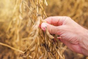 Uzročnik truleži sjemena soje - do vidljivih simptoma tek pred kraj vegetacije