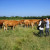 Kako uspešno artikulisati zahteve seljaka - primer u tovnom govedarstvu!