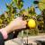 Zašto limun odbacuje lišće?
