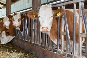 Tovno govedarstvo - šansa za srpsko stočarstvo?