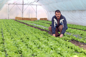Najčešće bolesti zelene salate i kako se s njima izboriti