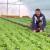 Najčešće bolesti zelene salate i kako se sa njima izboriti
