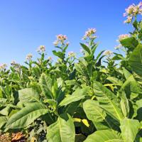 Udruga Krupan list: Pitanje je ostati ili odustati od proizvodnje duhana