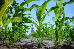 Kukuruz tretiran vitaminom E tolerantniji na sušu