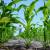 Kukuruz tretiran vitaminom E tolerantniji je na sušu