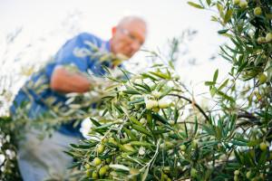 Revolucija u tradicionalnoj proizvodnji maslina na Kreti