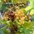 Kako sprečiti ožegotine od sunca na grožđu?